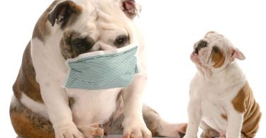Diagnosing And Treating Staph Infections In Dogs And Cats Pups To Pet