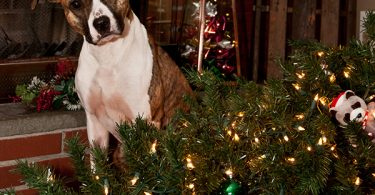 pet Safe Holiday Decorating dog 1